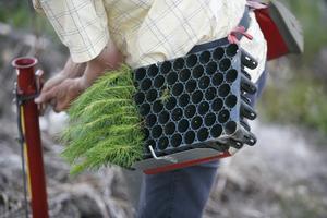 Det behövs skogsplanterare då den vanliga styrkan stoppas vid gränsen. Foto Johan Gunséus/TT:
