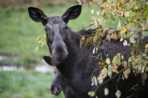 Älgko betar med sin kalv. Foto: Mikael Fritzon / TT