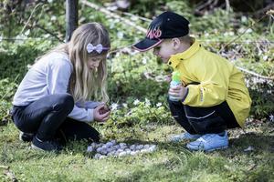 Sexåriga Julia Flygare och fyraåriga Alfred Sick hittade ett femtiotal sniglar på grönbetet.