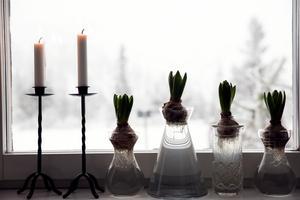 I glasvaser från olika loppisar står hyacinter påväg att spricka ut. Utanför är högfjället dolt i snöyra.