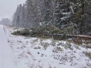 När den hundraåriga granen ska lastas på den nyuppraggade kranbilen visar det sig att trädet fallit olyckligt och att många grenar gått av. Foto: Crister Lindh.