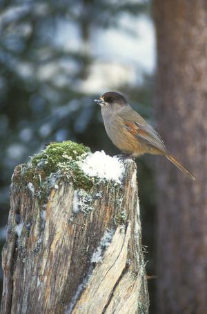 En av våra mest folkkära vinterfåglar i norr är lavskrikan. Inför vintern har den många olika gömmor med mat att tillgå. Kanske med hjälp av vänliga människor som bjuder på olika godsaker.