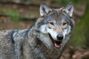 Det finns ytterligare en varg kvar på årets tilldelning för licensjakten i Dalarna.