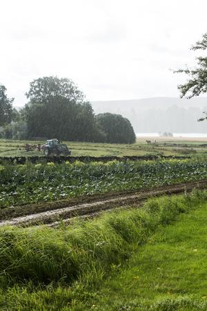 """Grässkörd, mjölkkor och grönsaksland. """"Närheten till en mjölkgård skapar en stark växtföljd och när våra jordar med fleråriga klövervallar och gödsel"""" säger Finley Blackburn."""