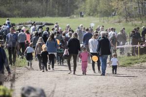 Tusentals vallfärdade på lördagen till Väddö gårdsmejeri för att bevittna när kossorna släpptes ut på grönbetet.