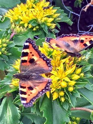 Det var massor av fjärilar i rabatten denna stekheta dag sönd 30/6. Zoomade in dessa med mobilen. Foto: Kerstin Malmström.