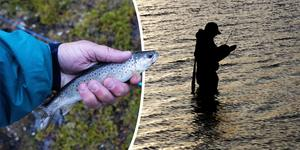 Sportfiskarna bär inget ansvar för svampangrepp på lax och öring, skriver insändarskribenten. Bilder: Gorm Kallestad/TT / Erlend Aas/TT