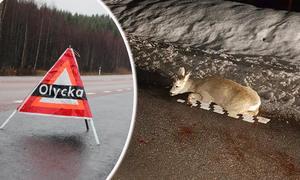 Ett påkört rådjur med tre av fyra ben av. Händelsen inträffade strax innan jul längs vägen mot Svärdsjö.  Foto, bildmontage Anders Jansson och Anders Wiklund