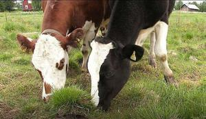 Det finns ont om mat till djuren i torkan.