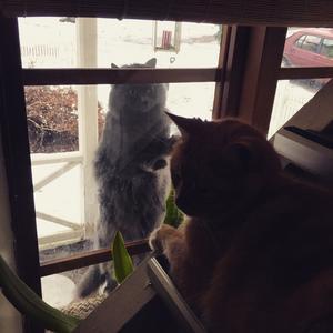 75) Katten Stellan sommarboende i Hårte . Knackar på fönstret för att komma in från kylan. Stellan är en sällskapssjuk Värmländsk herre vars hjärta klappar extra för Hälsingland och i synnerhet pärlan bland pärlor, Hårte . Foto: Lena Olsson