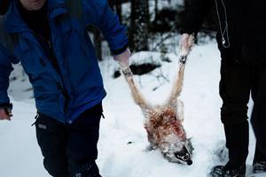 Den tilldelade kvoten om sex vargar vid licensjakten fylldes på tre dagar i Flatenreviret.