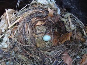 Majas nyuppspikade fågelholk blev genast bebodd.Hon blev väldigt förvånad över att hitta ett ägg i holken redan 2 dagar efter hon satt upp den.