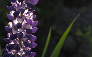 Lupinen  är vacker men också en blomma som tränger undan annan, ofta rödlistad, flora. Foto. Hasse Holmberg TT