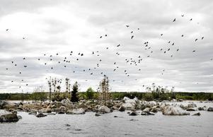 Många stug- och båtägare gillar inte fåglar. Skarven är en sjö- och havsfågel som ofta ställer till problem med sin spillning. Bild: Mårten Englin
