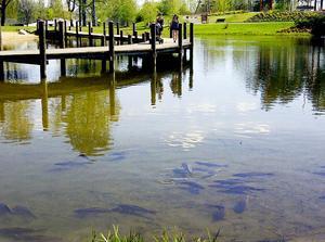 De har hunnit bli några stycken, spegelkarparna i Kumlasjön. De trivs bra i den konstgjorda sjön men kommunen vill inte ha dem där. Bilden är tagen i somras.