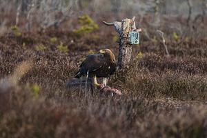 Fotografering av örnar vid Öjesjöbrännan. Foto: Jan Forsmark