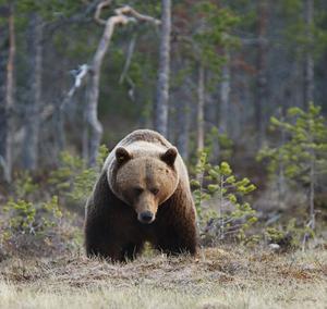 Den store kallar Lars Altberg den här bilden på en riktigt stor bamse till björn.