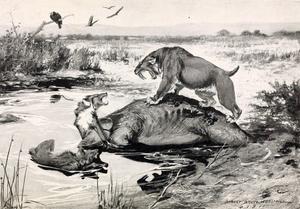 En sabeltandad tiger försvarar sitt byte. Illustration av Robert Bruce Horsfall från 1913.