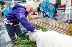 My Carlerby klappar om lammet Benny. Lammet kommer från Naturhjältarnas 4H-klubb i Järbo.