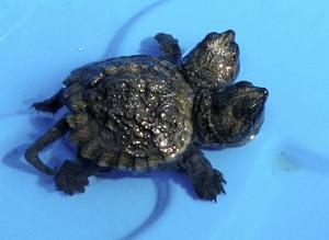 Och så en tredje tvåhövdad sköldpadda. Den är från USA.