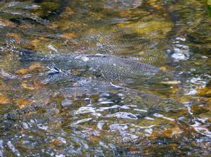 Beståndet av öring har minskat med sju åttondelar på 20 år i Skärjåns vattendrag.