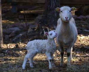 Tackan ser ganska stolt ut då hon visar upp sin Lambi-vita lammunge.