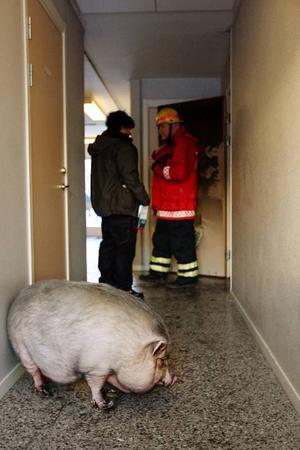 Räddningstjänsten tror att familjens minigris vält en lampa som orsakat branden som startade i en lägenhet i Torvalla på torsdagskvällen. Foto: Ulrika Andersson