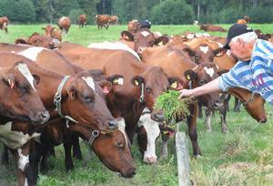 Kor fanns det gott om runt gården på Mårdnäs i Segersta.