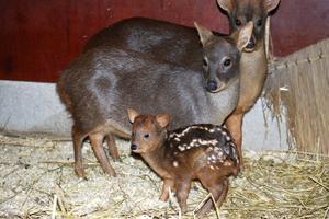 I maj föddes en pudu på Parken Zoo i Eskilstuna. En nyfödd unge väger bara ett par kilo.