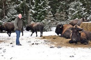 KÖTTDJUR. I hägnet utanför Österbybruk håller Bengt Andersson 30 bisonoxar, som inom kort utökas till 45. Målet med uppfödningen är att ta tillvara kött och skinn. Men det kan också bli safari för allmänheten.