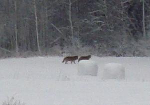 Två vargar går längs med en åker i Lilla Ornäs. Bengt Edgren och Jan Gustavsson lyckades få syn på dem.