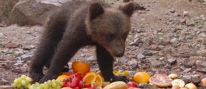 Björnsläpp i björnparken Orsa Grönklitt.