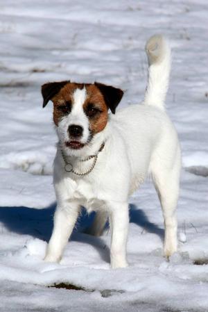 Jack russel terrier.