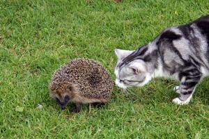 Vid frukosten imorse fick vi besök av Kotten i trädgården och då blev lillkatten Rocky nyfiken såklart. När jag gick ut för att fota smög han med och motivet blev bättre än jag kunnat ana! Närmare än såhär kom inte katten, då Kotten ilade in i hallonlandet strax efter att bilden togs.