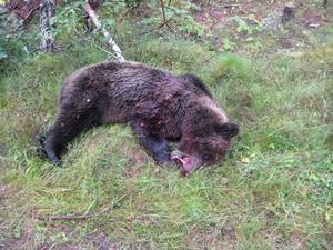 Den här björnen sköts i Mo utanför Ockelbo under årets jakt.