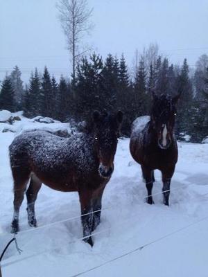 Hästar i Bäcken tycker det är helt ok med snö.