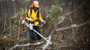 Hunter röjer i skogen.