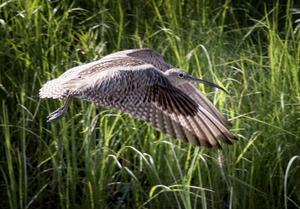 Storspov är en av de fågelarter som drabbas hårt av skogsbruket, skriver insändaren.