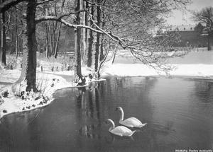 Svanar vid Frimurarholmen på 30-talet.