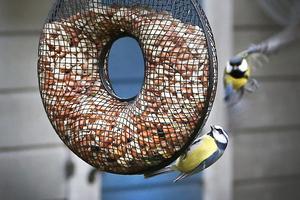 Talgoxe och blåmes brukar toppa listan på de vanligaste småfåglarna.