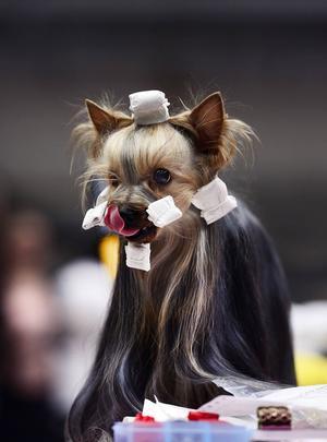 På ett bord intill mingelhunden, Belle, står rasfränden Grynet som till skillnad från sin kompis lever i utställningsvärlden.                  Hennes ägare, Madeleine Sidestål, håller för fullt på att sätta papillotter över hela hunden.