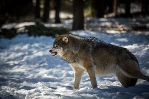 Vargen väcker känslor. I dagsläget finns ungefär 300 vilda vargar i Sverige. Den här är dock fotad på djurparken Järvzoo, i Järvsö.