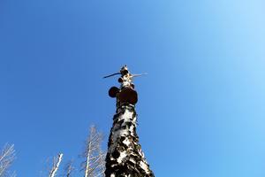 Björktickor på en björk i Hälleskogsbrännan.