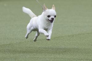 Chihuahua är populär i Sundsvall.