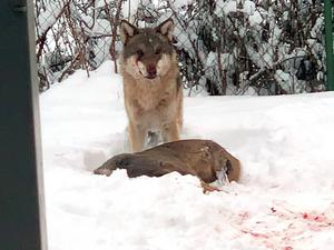 Ett par i Tierp fick syn på en varg som gick till attack mot ett rådjur i deras trädgård. Foto: Tobias Ågren/TT