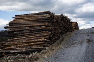 Holmen skog som äger och förvaltar den största arealen eldhärjad skogsmark har börjat avverka det som går att avverka.