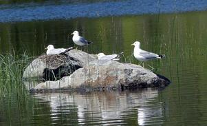 Foto: Lauritz Tutturen. Fotografen beskriver bilden så här: Ett rogivande lugn sänker sig över sjön Staren i södra Dalarna där fiskmåsarna har byggt sina bon på det lilla skäret. Ruvningen har kommit igång och snart simmar de små nykläckta ungarna omkring i vassruggen.