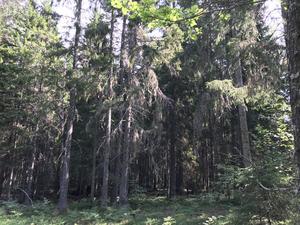 Fäberget, 61,3 hektar (ligger längs Roslagsleden mellan Söderby-Karl och Södra Råda). Område med främst barrdominerad naturskog, rikt på svamparter och örter som tycker om kalk. Exempel på skyddsvärda arter: koppartaggsvamp, raggtaggsvamp och tretåig hackspett. Foto: Länsstyrelsen