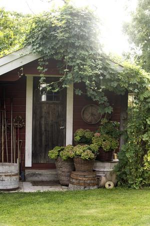 Karin har grupperat hortensior vackert i krukor både vid husets entré och vid uthusen.