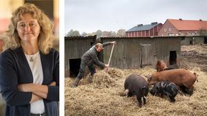 Kravs Anita Falkenek skriver om nödvändigheten av ekologisk odling. Det här grisarna framlever sina dagar på en gård i Skåne med ekologisk och naturlig grisavel. Foto: Johan Bävman/TT